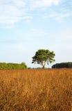 Сиротливая сосна в луге Стоковые Фото