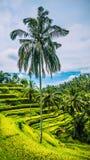 Сиротливая славная высокорослая ладонь с большими ветвями в изумлять террасы риса Tegalalang, Ubud, Бали, Индонезию Стоковое Фото