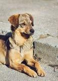 Сиротливая ухищренная собака шавки outdoors Стоковое Изображение RF