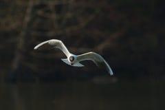 Сиротливая чайка в полете стоковые изображения rf