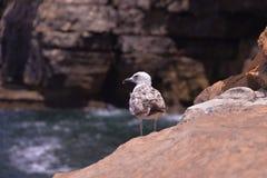 Сиротливая чайка на скалистом побережье Стоковое фото RF