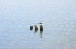 Сиротливая чайка стоковые изображения
