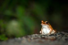 Сиротливая лягушка Ракеты сидя на дороге в тропическом лесе Стоковые Изображения