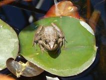 Сиротливая лягушка стоковые фотографии rf