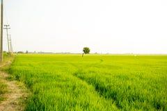 Сиротливое дерево между полем риса Стоковое Изображение