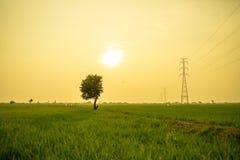 Сиротливое дерево между полем риса Стоковые Изображения