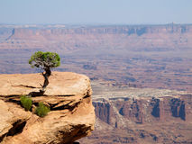 Сиротливое дерево на каньоне Стоковое Изображение RF
