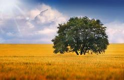 Сиротливое дерево на поле Стоковое фото RF