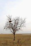 Сиротливое дерево с гнездами Стоковые Изображения RF