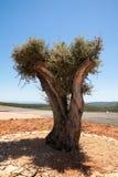 Сиротливое дерево с горами на предпосылке Стоковое Изображение
