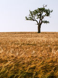 Сиротливое дерево. Стоковые Фото