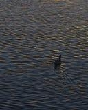 Сиротливое заплывание утки на озере на времени захода солнца Стоковые Фото