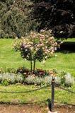 Сиротливое зацветая дерево в саде лета с цеп-загородкой на переднем плане стоковая фотография rf
