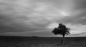 Сиротливое оливковое дерево в зеленом поле и moving облаках Стоковое фото RF
