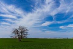 Сиротливое поле зеленого цвета дерева Стоковое Фото