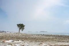 Сиротливое хвойное дерево на скалистом береге Lake Baikal во время тяжелого шторма Стоковая Фотография RF