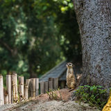 Сиротливое meerkat, Стоковая Фотография