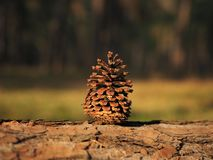 Сиротливое Pinecones стоковое изображение