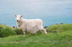Сиротливые овцы на горном склоне Стоковые Фото