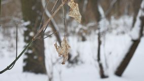 Сиротливые сухие лист пошатывают в ветре на ветви дерева в ландшафте природы снега зимы леса зимы Стоковая Фотография RF