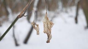 Сиротливые сухие лист пошатывают в ветре на ветви дерева в ландшафте природы снега зимы леса зимы Стоковое фото RF