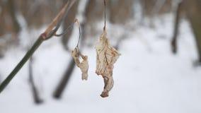 Сиротливые сухие лист пошатывают в ветре на ветви дерева в ландшафте природы снега зимы леса зимы Стоковая Фотография