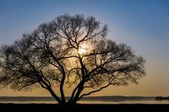 Сиротливый большой силуэт дерева на побережье озера против неба захода солнца Стоковые Фото