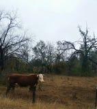 Сиротливый бык Стоковые Изображения