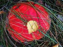 Сиротливый гриб пластинчатого гриба меда растя на пне дерева Стоковое Изображение RF