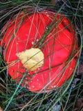Сиротливый гриб пластинчатого гриба меда растя на пне дерева Стоковые Изображения RF