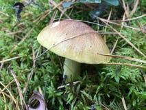 сиротливый гриб Стоковая Фотография RF