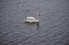сиротливый лебедь Стоковая Фотография