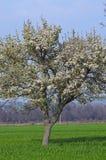 Сиротливый зацветать белых цветков дерева Стоковое Изображение RF