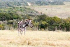 Сиротливый - зебра Burchell Стоковая Фотография