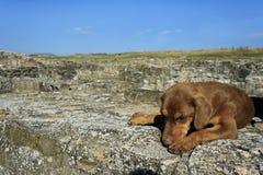 Сиротливый коричневый спать собаки Стоковая Фотография RF