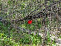 Сиротливый красный тюльпан в беспорядке старых лоз и деревьев Стоковые Изображения RF