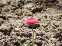 Сиротливый маленький розовый цветок на тонком черенок Стоковое Фото