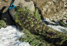 Сиротливый павлин во время зимы Стоковые Фотографии RF