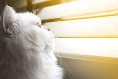 Сиротливый персидский кот смотря вне окно Стоковое Изображение