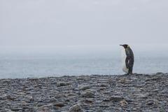 Сиротливый пингвин короля Стоковые Изображения RF