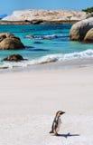Сиротливый пингвин плащи-накидк на пляже стоковые фотографии rf