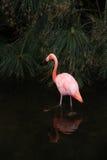 Сиротливый розовый фламинго в одичалой природе. Стоковая Фотография RF