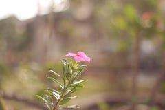 Сиротливый розовый цветок с листьями на саде Стоковые Изображения