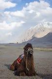 Сиротливый сидя верблюд на пустыне стоковые изображения rf