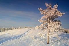 Сиротливый снег сосны покрытый на холме Стоковое Изображение