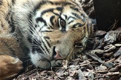 Сиротливый тигр стоковые фотографии rf