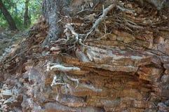 Система корня дерева на скалистом побережье Стоковое фото RF