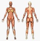 система мышцы анатомирования женская людская Стоковое Изображение