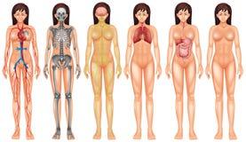 Система тела бесплатная иллюстрация