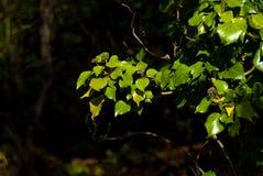 Сияющие листья зеленого цвета Стоковая Фотография